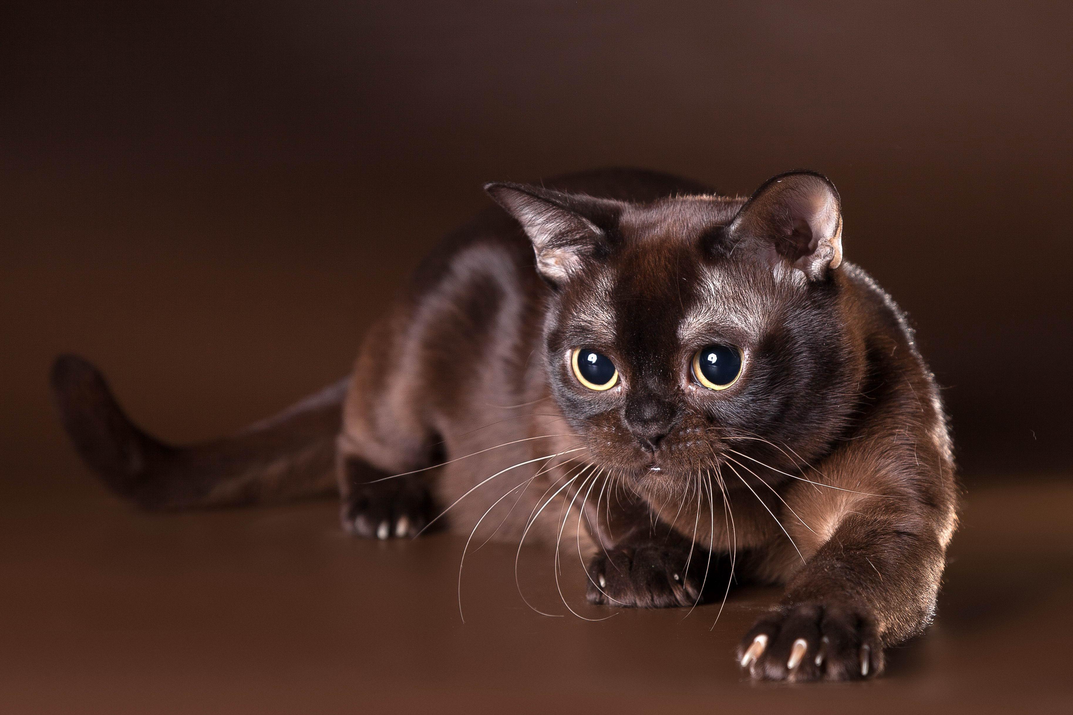 Eben chlpaté mačička galérie
